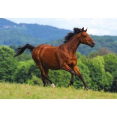 Puzzle Castorland 1000 Reddish-brown horse---