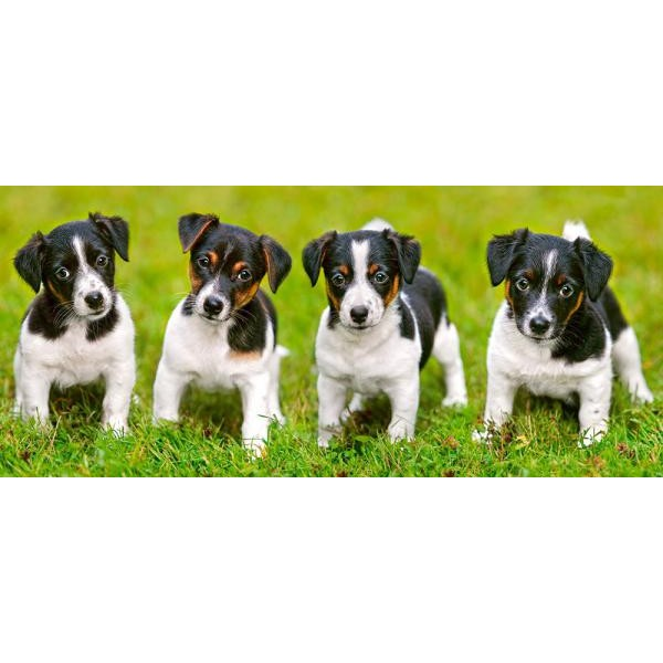 Puzzle Castorland 600 panoramic Jack Russell Terrier Puppies